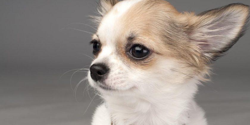 Chihuahua – o rasa canina extrem de pretentioasa